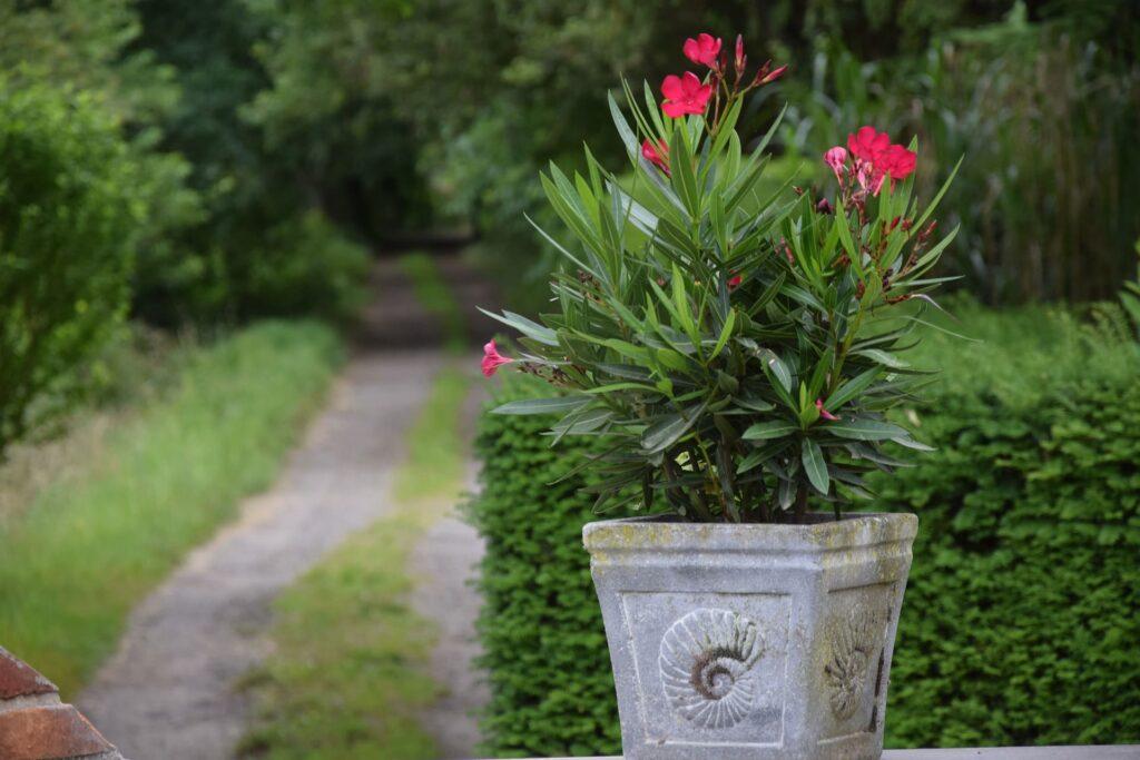 pot-laurier-rose