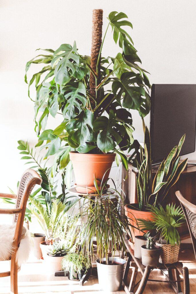 Une monstera adansonii dans un pot maintenue par un tuteur