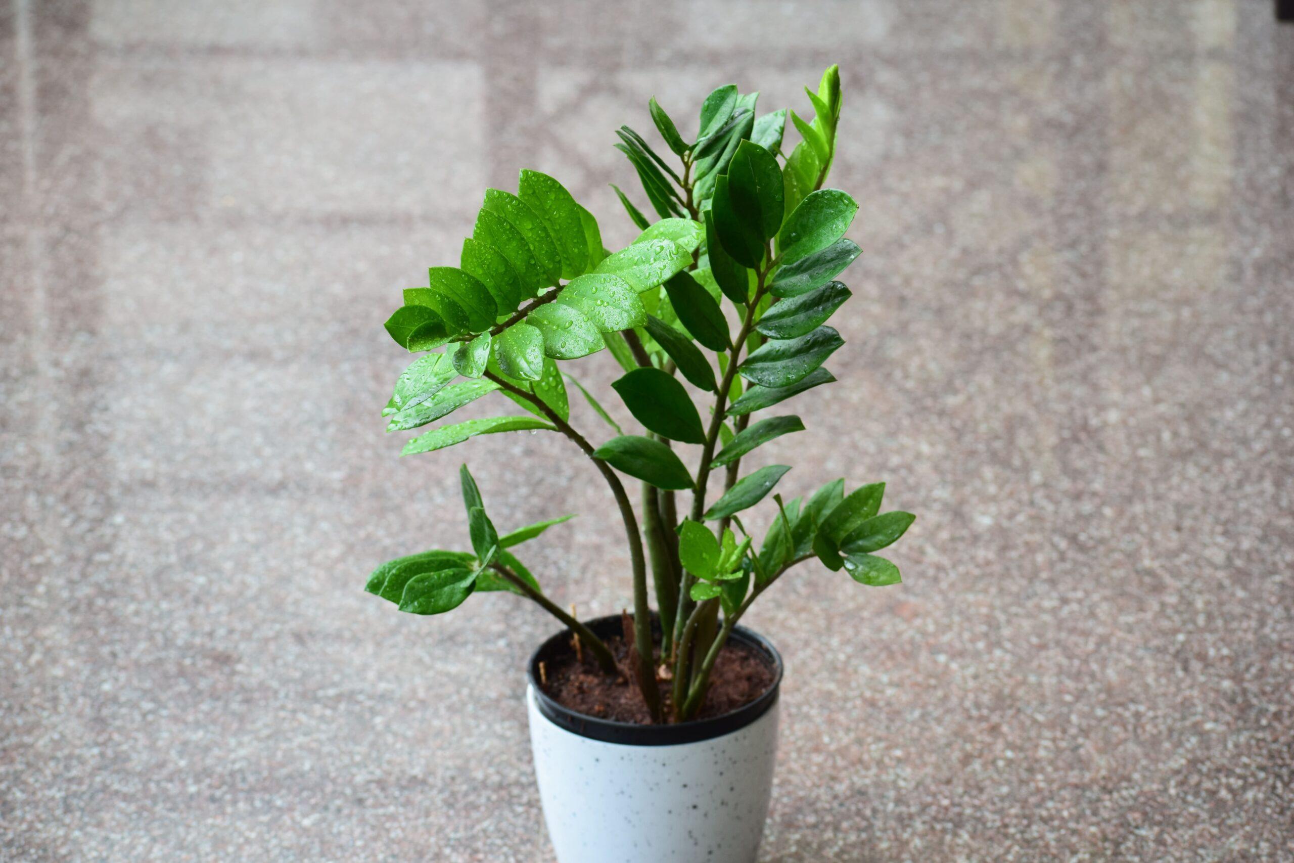 L'arrosage de la plante verte zamioculcas
